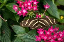 Zebra Longwing Butterfly (Heliconius Charithonia) From Above