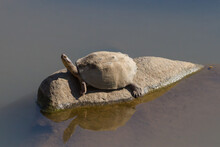 Serrated Hinged Terrapin (Pelusios Sinuatus) Sitting Alone On A Rock In A River In Kruger National Park, South Africa With Copy Space