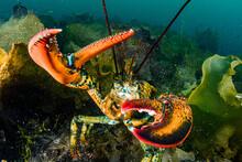American Lobster Underwater