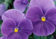 Macro Of Purple Pansies With Dew On Petals, South Carolina