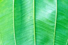 Green Foliage Texture Close Up Vein Patterns  Background