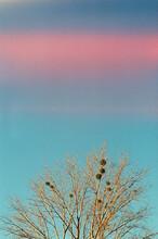 Mistletoe On A Treetop At Fall