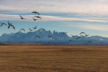 A Flock Of Birds Flying On The Autumn Grassland, The Magnificent Natural Scenery Of The Patagonian Plateau In South America.