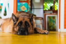 German Shepherd Dog Resting