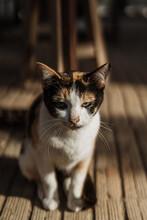 Calico Cat In Morning Light