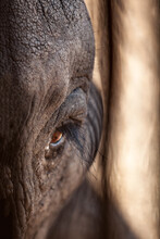 Close-up Of An Elephant's All-Seeing Eye