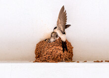 House Martin, Swallow Of The Eaves, Of The Species Delichon Urbicum, Adult Feeding Its Small Children In The Nest
