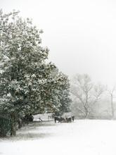 Winter Scene Of Cows Feeding In The Snow