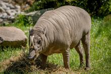 Babirusa Standing In Grass