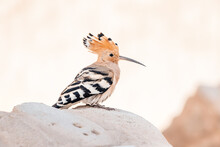 An Unusually Beautiful Hoopoe Bird With A Long Beak And A Wonderful Crest Is Very Useful In Agriculture Because It Eats Pests
