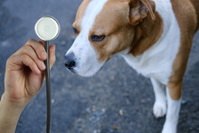 Doctor, Medic Holds Stethoscope, Big White Dog With Red Spots, Pet Treatment Concept, Pet Care, Veterinary Medicine