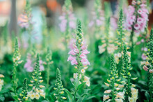 Digitalis Purpurea Flowers