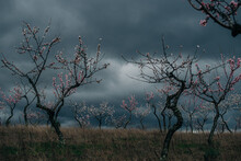 Orchard Of Blooming Almond Trees  Against A Stormy Sky