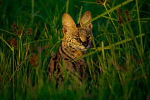 Serval Cat On The Grass Looking Into The Camera