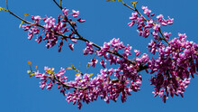 Pink Flowers On Branch Of Eastern Redbud Or Eastern Redbud Cercis Canadensis Against Background Of Blue Spring Sky. Selective Focus. Close-up Of Rose Flowers Of Judas Tree. Nature Concept For Design.