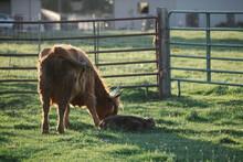 Scottish Highland Cow With Calf