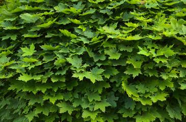 Klonowe liście