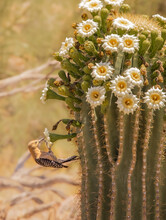 A Gila Woodpecker Looks For Insects In And Around The Newly Flowering Saguaro Cactus Located In The Sonoran Desert The Fresh Yellow And White Cactus Flowers Attract Insects And Then Birds The Blooms