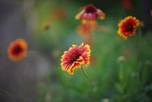 Orange Flowers Gaillardia Grow In Summer Park