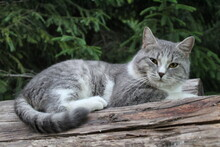 Grey Purebred British Cat On A Log In The Forest Close-up