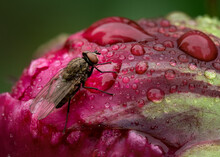 Very Detailed Image Of A Common Housefly Sitting On A Peony Flower That Is Covered In Raindrops.