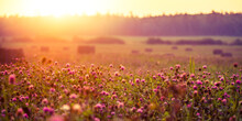 A Beautiful Landscape Of A Blooming Red Clover Field During The Sunrise. Summertime Scenery Of Northern Europe.