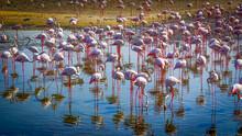 Flock Of Pink Flamingo On The Blue Lake.