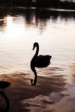 Swan On The White Lake