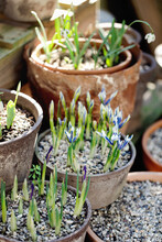Many Clay And Concrete Pots With Bulbs Sprouting In Them
