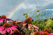 Purple Coneflower With Rainbow