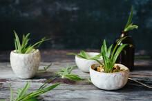 Spider Plant Plantlets.