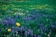Grass And Spring  Flowers Blooming On Nature