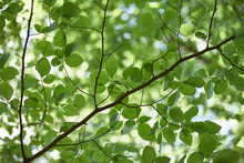 Detail Of Beech Tree Leaves In Spring. Norfolk, UK.