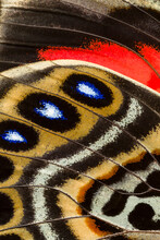 Claudina Butterfly Wing Patterns