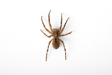 Tarantula Wolf Spider (Lycosa Tarantula)