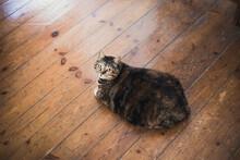Fat Cat Looking At Camera