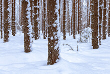 Pine Trees In A Snow Covered Forest