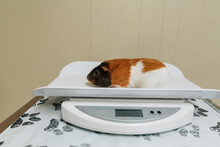 Guinea Pig Sitting On A Scale.