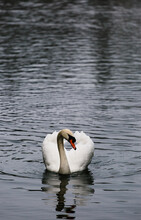 Young Swan On A Lake