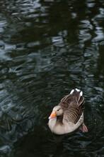 A Grey Goose On A Lake.