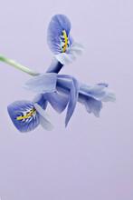 Pale Blue Iris Still Life