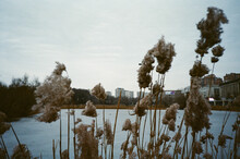 Reeds Near A Frozen Pond In Moscow