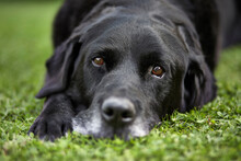 Close Up Of An Old Black Labrador Retriever Laying On Grass. UK.