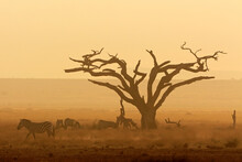 Sunset With Silhouetted Tree And Zebras