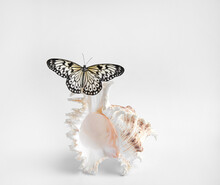 The Butterfly Is Black And White, Sitting On A Seashell On A White Background. Idea Leuconoe, Rice Paper.