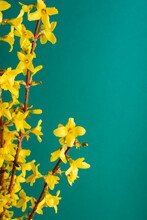 Yellow Forsythia Flowers Against Teal