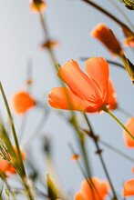 California Poppies In The Wind