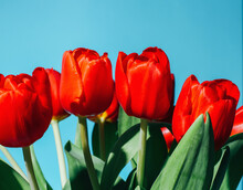 A Bunch Of Red Tulip With A Blue Background