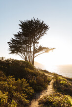 A Cypress Tree In The Afternoon Sunshine Next To A Trail