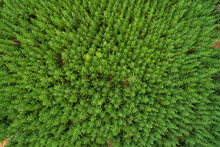 Aerial Fly Over Managed State Forest Plantation